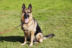 德国牧羊犬在公园的狗画象 图库摄影