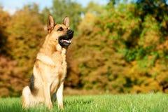 一条德国牧羊犬狗 图库摄影