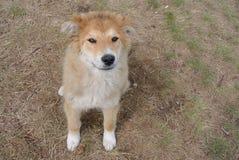 一条忠实的狗 免版税库存照片