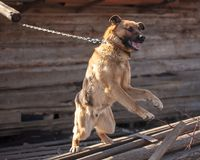 一条恼怒的狗在房子附近咆哮 库存图片