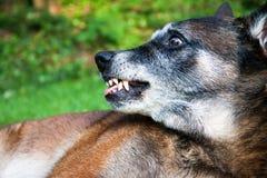 一条恼怒的狗,显示牙的一位比利时牧羊人 库存图片