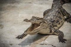 一条恼怒的鳄鱼是开放下颌并且准备触击 一个年轻阴级射线示波器 免版税图库摄影