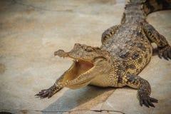 一条恼怒的鳄鱼是开放下颌并且准备触击 一个年轻阴级射线示波器 免版税库存照片