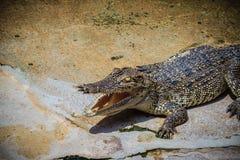 一条恼怒的鳄鱼是开放下颌并且准备触击 一个年轻阴级射线示波器 库存照片