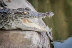 一条恼怒的鳄鱼是开放下颌并且准备触击 一个年轻阴级射线示波器 图库摄影