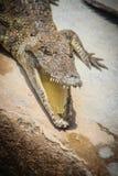 一条恼怒的鳄鱼是开放下颌并且准备触击 一个年轻阴级射线示波器 库存图片