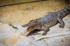 一条恼怒的鳄鱼是开放下颌并且准备触击 一个年轻阴级射线示波器 免版税库存图片