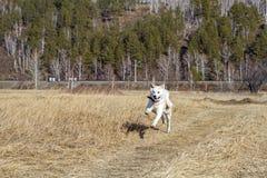 一条愉快的日本人秋田Inu狗横跨与干草的领域在一个山区跑在春天在铁路背景 免版税库存照片