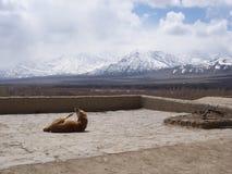 一条懒惰狗在有雪的山景城Leh宫殿 免版税库存图片