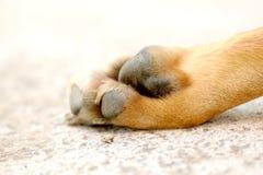 一条成人狗的爪子 图库摄影