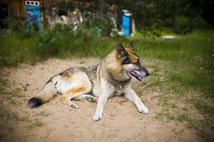 一条成人狗的画象在自然的 混杂的牧羊人和爱斯基摩 免版税图库摄影