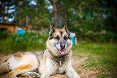 一条成人狗的画象在自然的 混杂的牧羊人和爱斯基摩 免版税库存图片