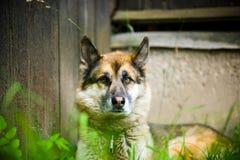 一条成人狗的画象在自然的 混杂的牧羊人和爱斯基摩 图库摄影