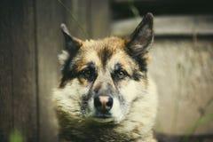一条成人狗的画象在自然的 混杂的牧羊人和爱斯基摩 免版税库存照片