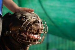 一条成人Rottweiler狗的画象在金属枪口的在一好日子 免版税库存图片
