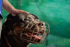 一条成人Rottweiler狗的画象在金属枪口的在一好日子 免版税图库摄影