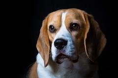 一条成熟小猎犬狗 免版税库存图片
