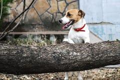 去一条支付的狗杰克罗素的狗跳过击倒的树 站立在后腿的轻拍 库存照片