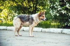 一条无家可归的狗在街道上站立 免版税库存图片