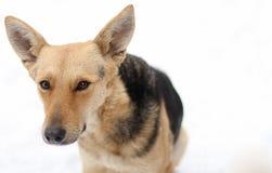 一条无家可归的狗看起来怀疑 免版税库存照片