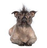 一条无毛的混杂品种狗的正面图,在,位于和查看照相机的法国牛头犬和中国有顶饰狗之间的混合 库存照片