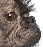 一条无毛的混杂品种狗的特写镜头,在法国牛头犬和中国有顶饰狗之间的混合 库存图片