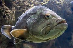 一条暗淡的石斑鱼,鲶科鱼marginatus, cretaquarium在伊拉克利翁,克利特,希腊 免版税库存照片