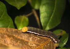 一条有角的毛虫的特写镜头 免版税库存照片