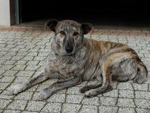 一条杂种狗 免版税库存照片