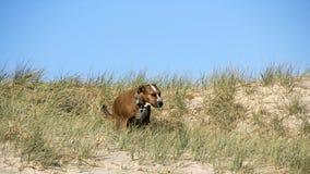 一条棕色狗在海滩的草 免版税库存照片