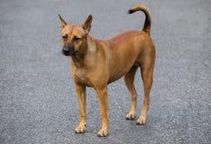 一条棕色狗的图象在街道上的 库存照片