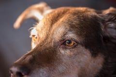 一条棕色狗的特写镜头与琥珀色的眼睛的 库存照片