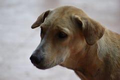 一条棕色街道狗的特写镜头在海滩的在华欣,泰国,亚洲 库存图片