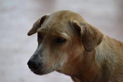 一条棕色街道狗的特写镜头在海滩的在华欣,泰国,亚洲 免版税库存图片