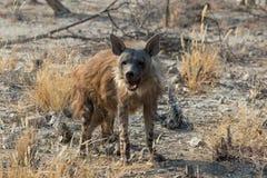 一条棕色鬣狗在Etosha 库存图片
