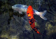 一条橙色和一条白色Koi鱼 库存照片