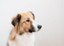 一条殷勤地看起来的被混合的品种狗 库存照片