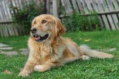 一条母金毛猎犬狗的画象 库存图片