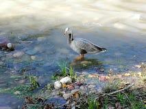 一条河在城市,鸭子 库存图片
