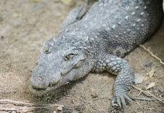 一条淡水鳄鱼的画象 免版税库存图片