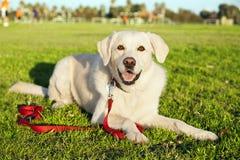 在公园的混杂的拉布拉多狗画象 免版税库存照片