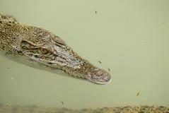 一条港湾鳄鱼的画象 库存照片