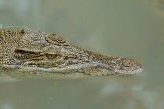 一条港湾鳄鱼的画象 免版税库存图片