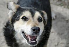 一条滑稽的无牙的狗的画象查寻并且快乐地微笑 免版税库存照片