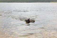 一条滑稽的狗,达尔马提亚狗,沿湖游泳用棍子 库存图片