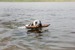 一条滑稽的狗,达尔马提亚狗,沿湖游泳用棍子 免版税库存图片