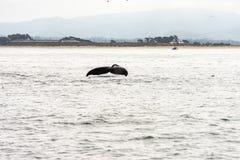 一条潜水的鲸鱼的鲸鱼飞翅 免版税库存图片
