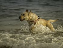 一条激动的拉布拉多狗用尽海洋在Sampieri海滩,在西西里岛,西西里岛 免版税库存照片