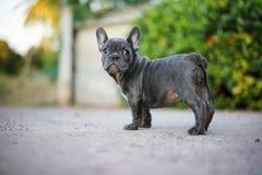 一条灰色法国人公牛狗 免版税库存照片