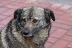 一条灰色狗的头坐在街道的边路 免版税库存图片